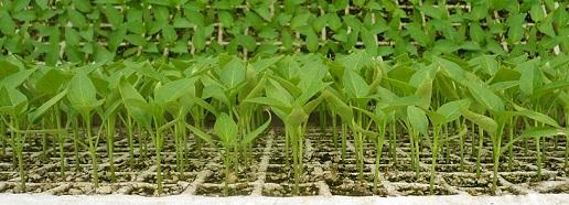 разсад сортови семена