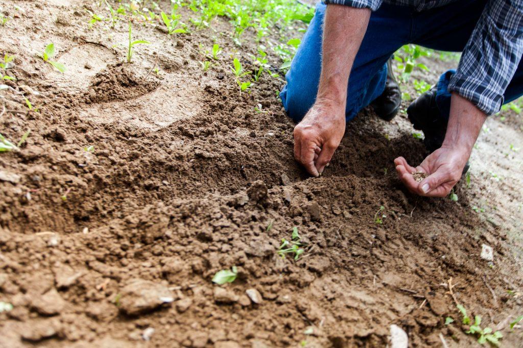 засаждане на сортови семена